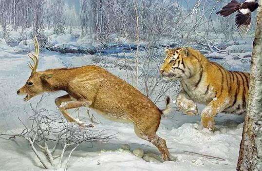 野生东北虎的数量为什么恢复缓慢?这种因素造成的影响远超偷猎