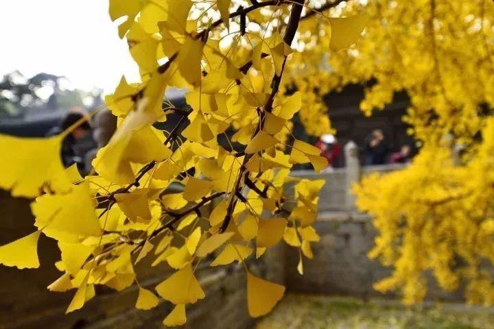 湖南怀化向秋生_四季芳华,落叶缤纷, 一年最美是金秋, 怀化的秋天虽然短暂, 但活色生