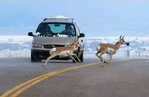 车子撞到动物了,保险会赔吗?   咕噜美国通 (Guruin.com)