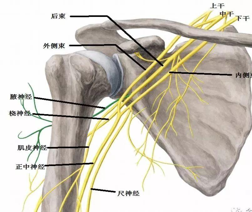 第5 8颈神经前支和第1胸神经前支的大部分纤维组成,经斜角肌间隙走出