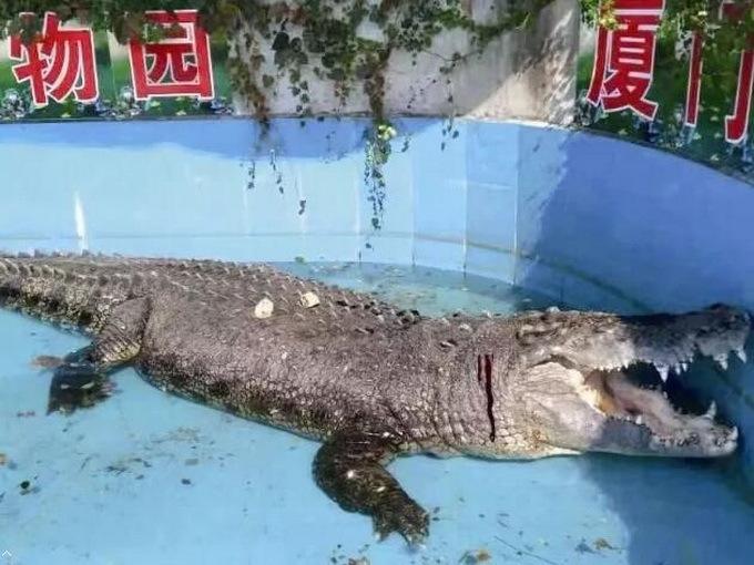 游客砸伤亚洲鳄鱼:见鳄鱼趴着不动 竟用石块砸它验真假
