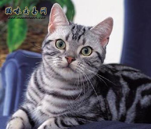 短尾猫多少钱一只图片