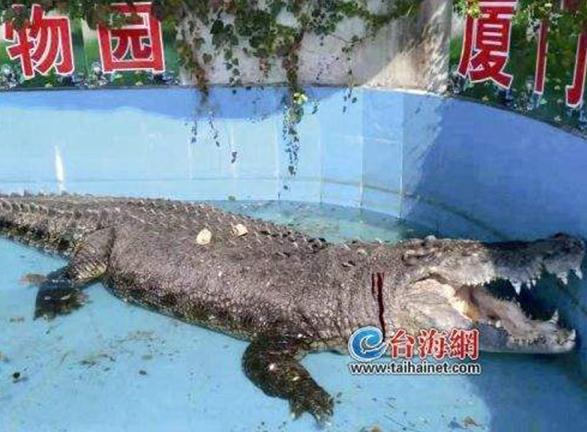 游客用17公分石块砸伤鳄鱼,就为试探死活