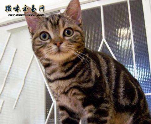 短尾猫图片