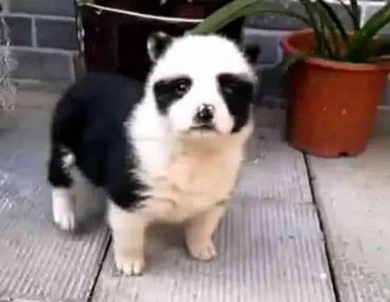 田園犬生下一只「熊貓狗」,鏟屎官看見大喜:哪頭熊貓乾的好事? 萌寵 第3張