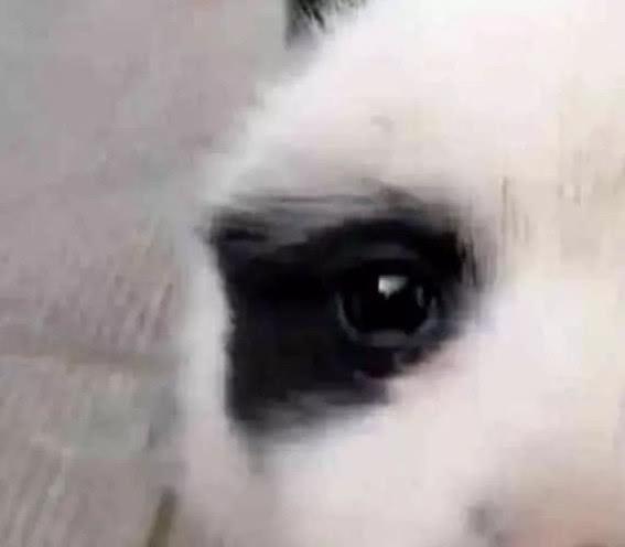 田園犬生下一只「熊貓狗」,鏟屎官看見大喜:哪頭熊貓乾的好事? 萌寵 第4張