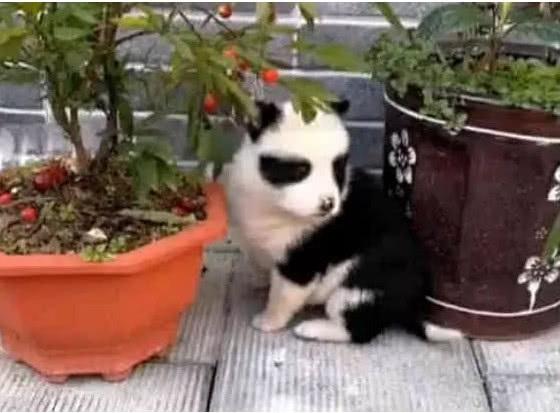 田園犬生下一只「熊貓狗」,鏟屎官看見大喜:哪頭熊貓乾的好事? 萌寵 第2張