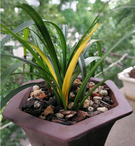 只要室外温度在25℃以下,都不会烧伤兰叶,冬天的阳光不但对假鳞茎的图片