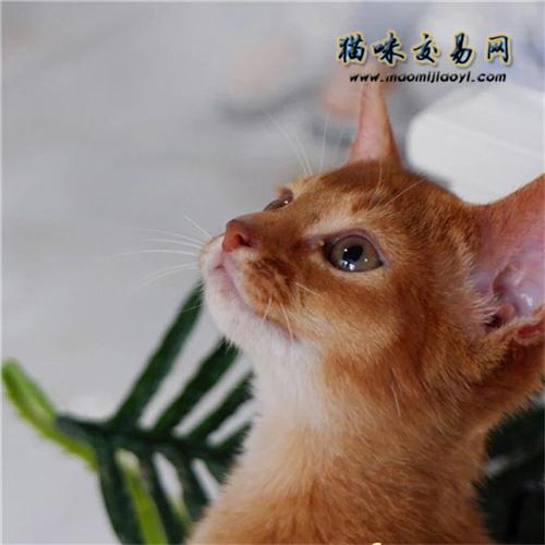 阿比西尼亚猫价位图片
