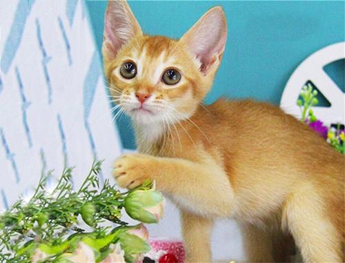 阿比西尼亚猫多少钱图片