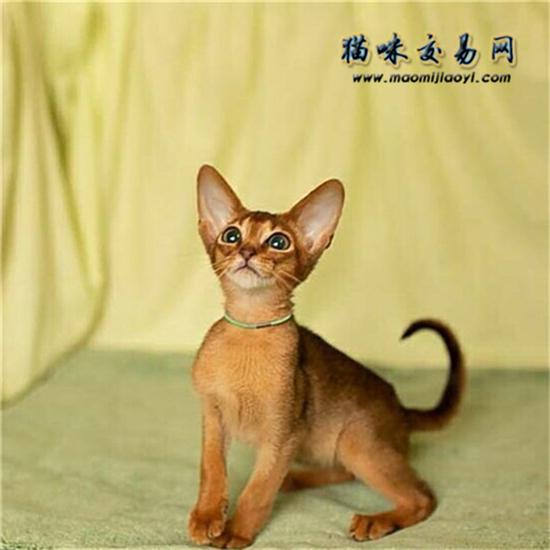 阿比西尼亚猫多少一只图片