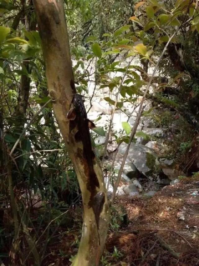 云南有一种鱼,不爱待水里就喜欢爬树,游客:它爬树上找对象吗?