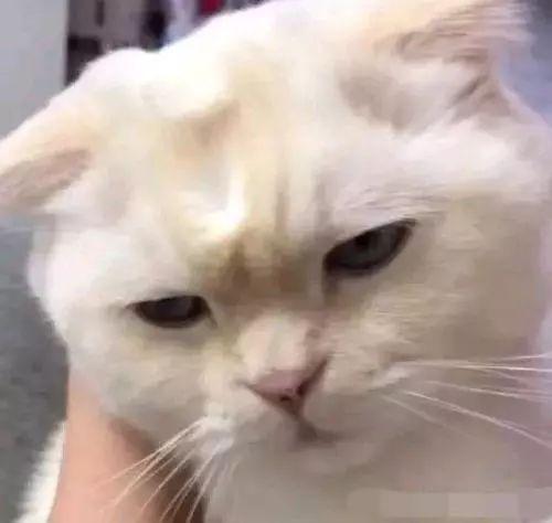 猫咪的表情能有多丰富?这只猫咪打个哈欠居然把脸给弄图片