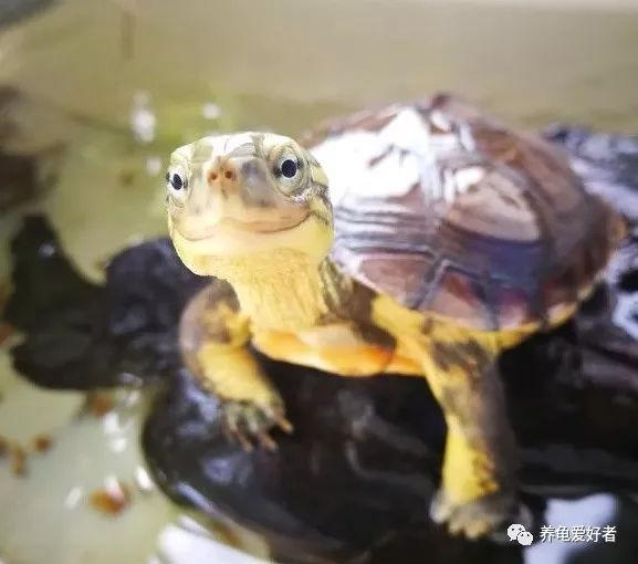 宠物龟 一些常见宠物龟品种鉴赏!