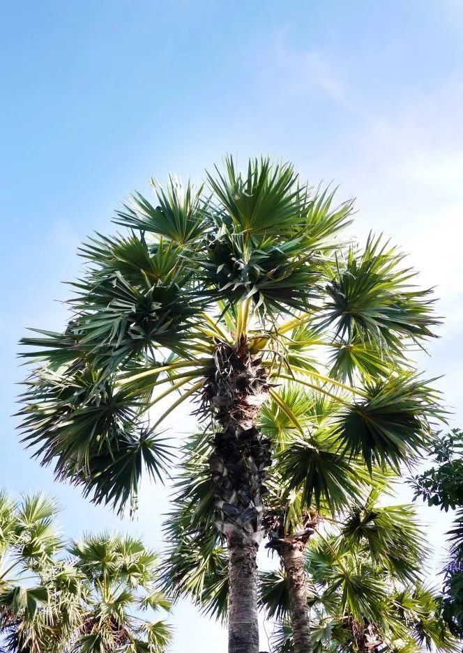 佛系植物:五树,六花_贝叶棕
