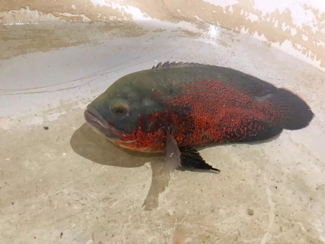 好漂亮的一条鱼,