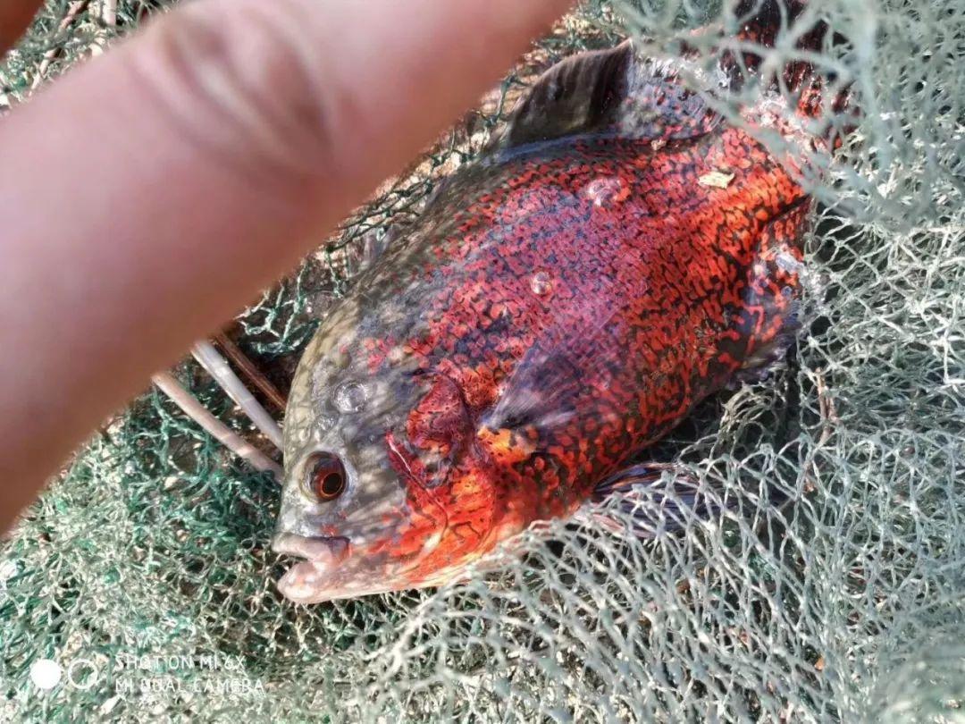上海市民捕鱼捕到 怪鱼 浑身红