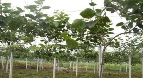 【技术要点】猕猴桃树最低多少度会被冻死?图片