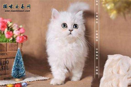如何饲养金吉拉猫?饲养要注意什么?