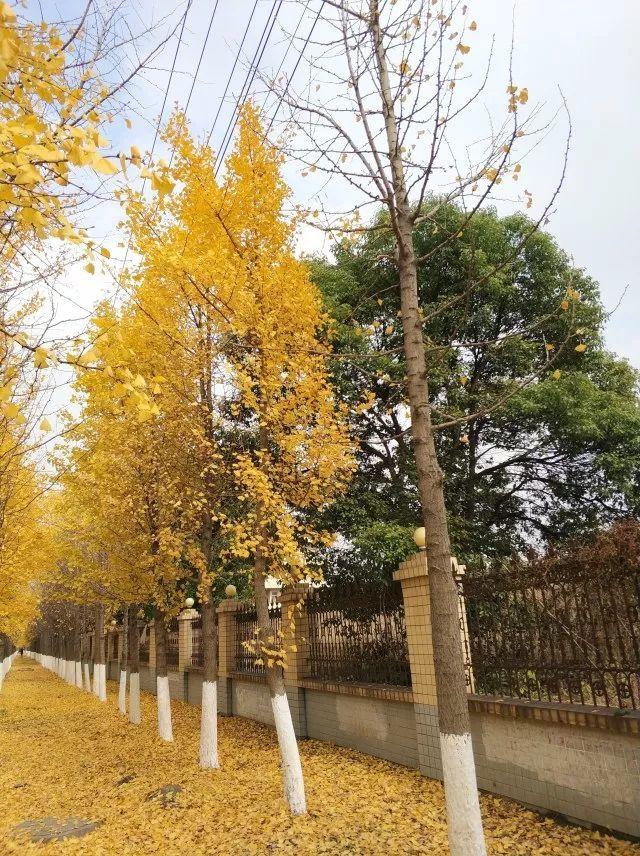 绝美的银杏树即将全面开启.图片