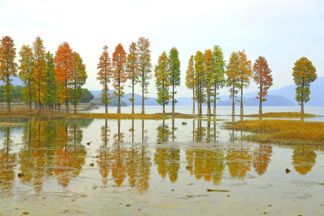 又比如 那片映入四明湖水波倒影里的 四明湖畔的红杉林, 可以说是图片