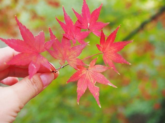 一夜风紧,也有被吹落在地上的叶子,拿在手里,拍个细节图.图片
