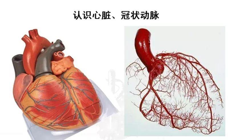 心肌切片红蓝手绘图