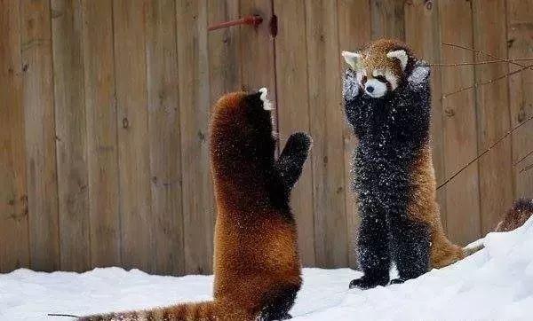 小拳拳捶你 这场对决赌上了两只小熊猫的尊严