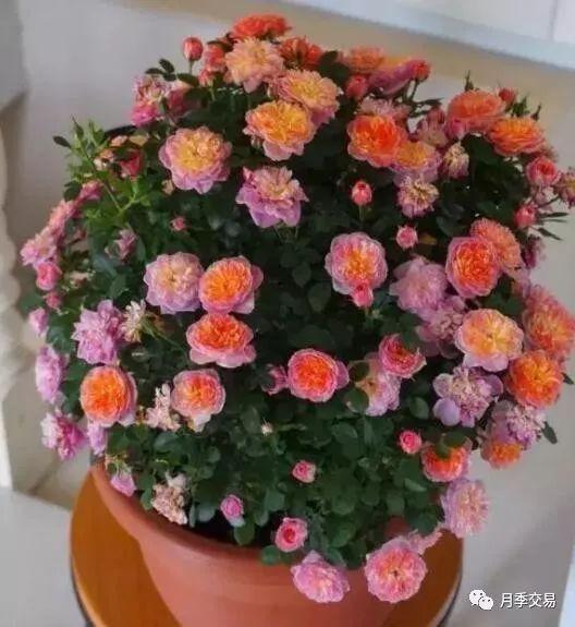 适合小盆栽的微型月季品种图片