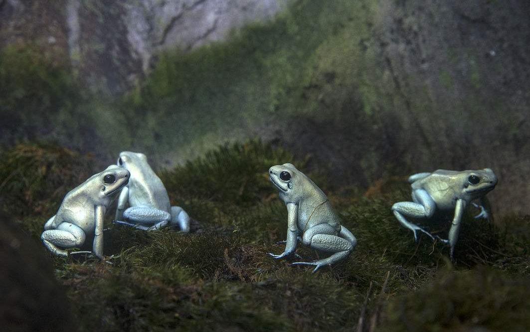 世界上最毒的蛙类,数分钟可杀死10个成年人,碰过的纸巾也要人命