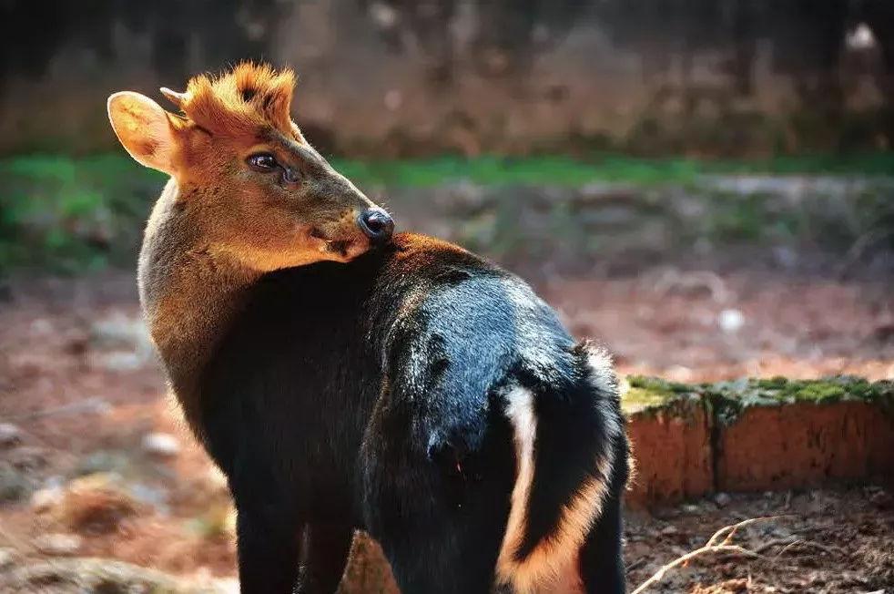它們是中國特有的珍稀鹿種,更是國寶級動物