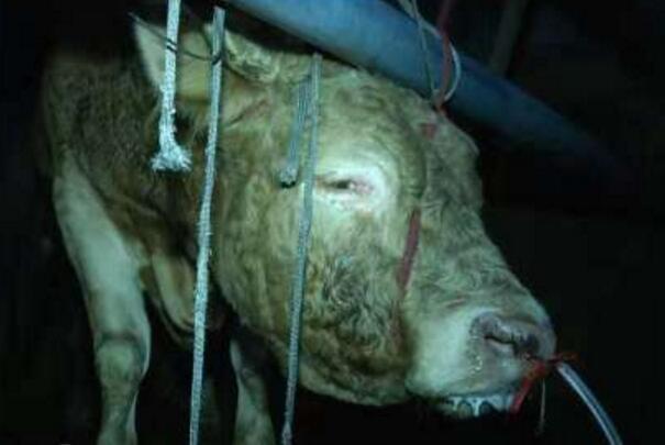黄牛12小时注水 不少牛直接倒地流泪抽搐