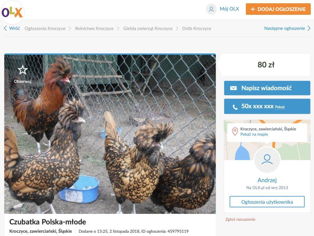 """外国鸡品种_""""波兰鸡""""是个什么鸡?很多外国人还把它当宠物养…_美国"""