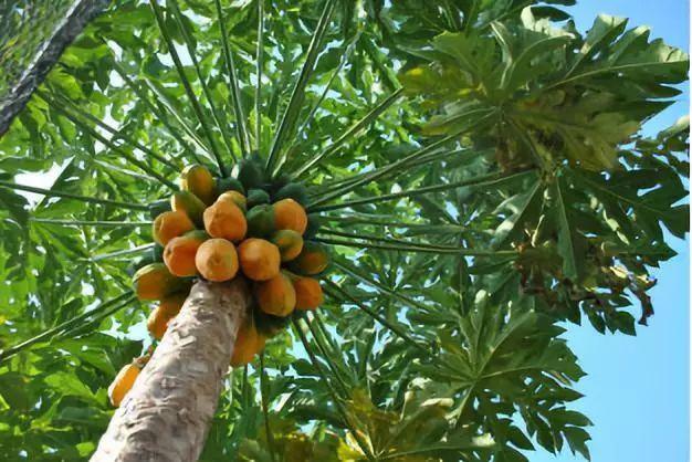 云上自然 此木瓜非彼木瓜 堤内村的野木瓜