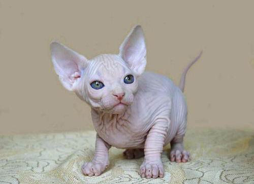 斯芬克斯猫多少钱一只图片