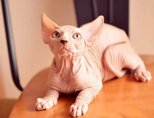 斯芬克斯猫一点毛都没有吗图片