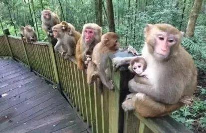 旅游 正文  这是牛姆林中的猴子,绝对不是某个动物园中的猴子,这些图片