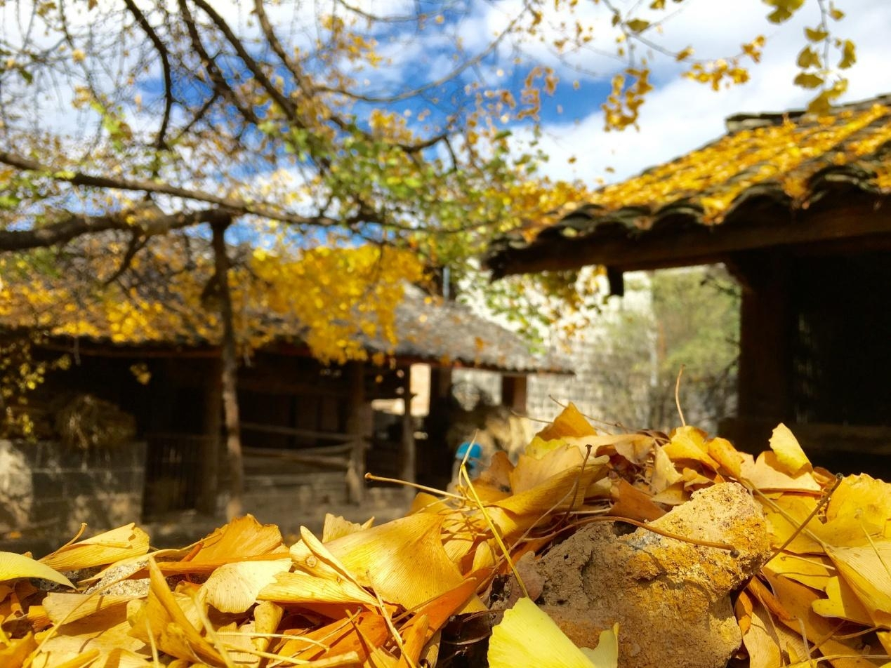 千年銀杏樹, 來歷很大, 據說是唐太宗親自種的, 又到了最美的時候