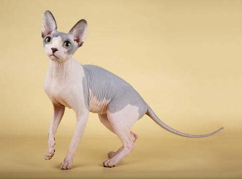 斯芬克斯猫为什么难养图片