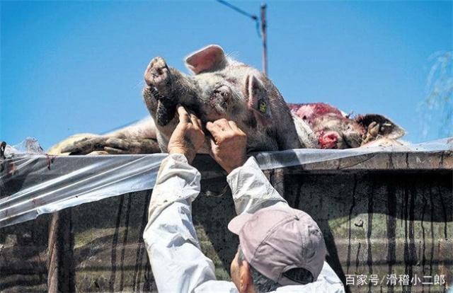 湖北猪瘟疫情最新消息:10天内确诊3例猪瘟疫情,死亡23头,猪价跌幅达1.21元/公斤