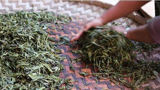 手工揉捻,即用手使茶菁成条,同时破坏茶鲜叶细胞组织,使茶叶内含物质图片