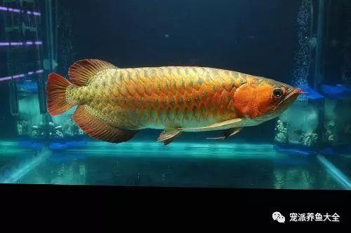 龙鱼游姿威武、罗汉鱼多姿多彩…宠物鱼的世界太赞了!~
