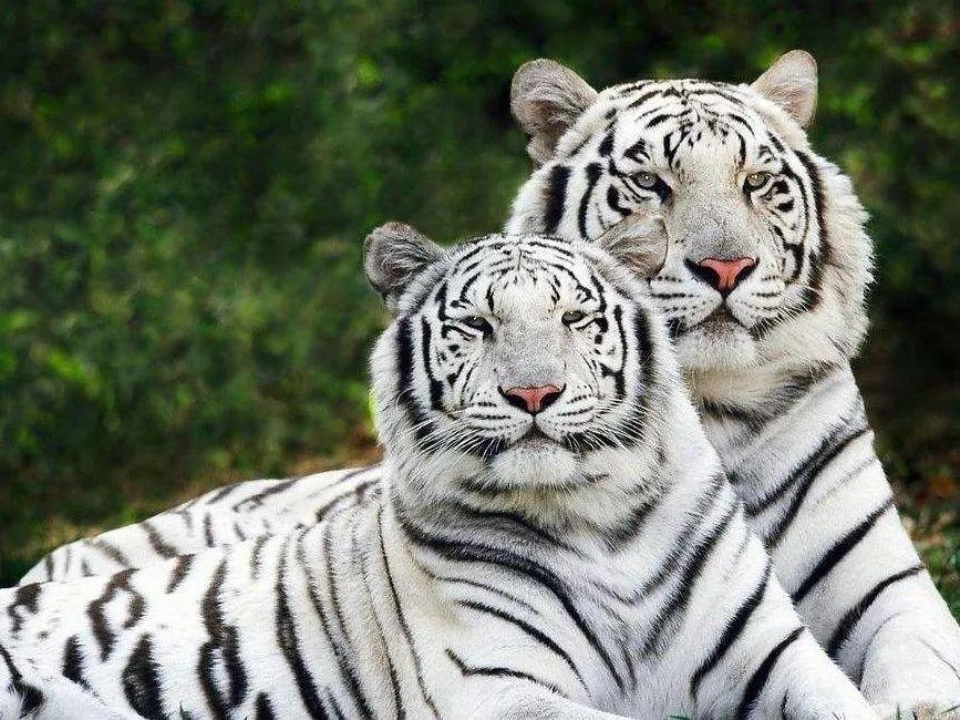 干白虎骚穴_痴呆等畸形出现,故繁殖白虎和繁殖杂种大猫一样,不是正经动物园应该干