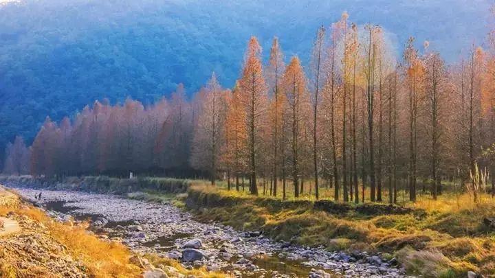 【深秋徒步】12月1日惊艳四明湖红杉林,徒步燕窝古道图片