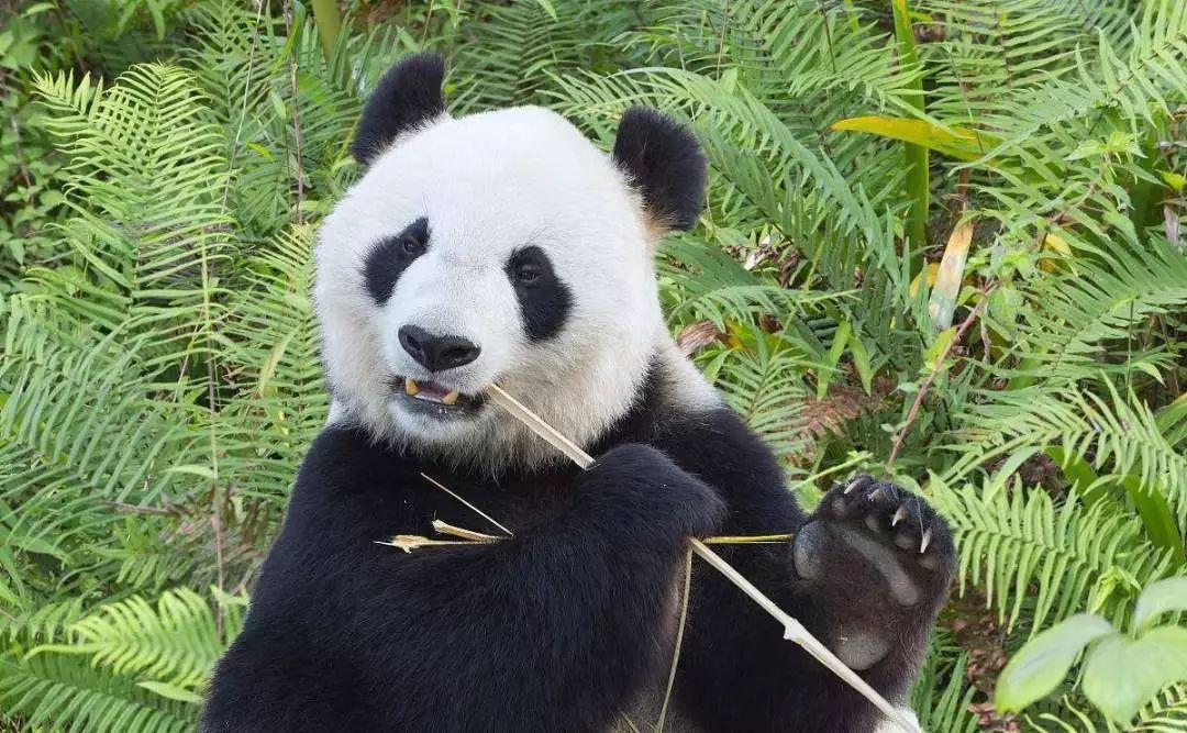 四川大熊猫饲养员招募令!萌,是一种与生俱来的属性_