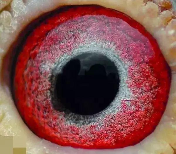 瞳孔很小呈椭圆状向方向嘴角透出,眼志圈前下方倾斜放射状的英文,前情趣用品写怎么黑丝用图片