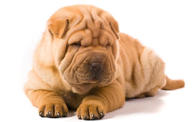 沙皮狗能看家吗_史上最臭的5大狗狗,一天不洗澡能熏晕铲屎官,你还敢养吗?_沙皮