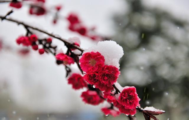 七绝· 雪中梅花开图片
