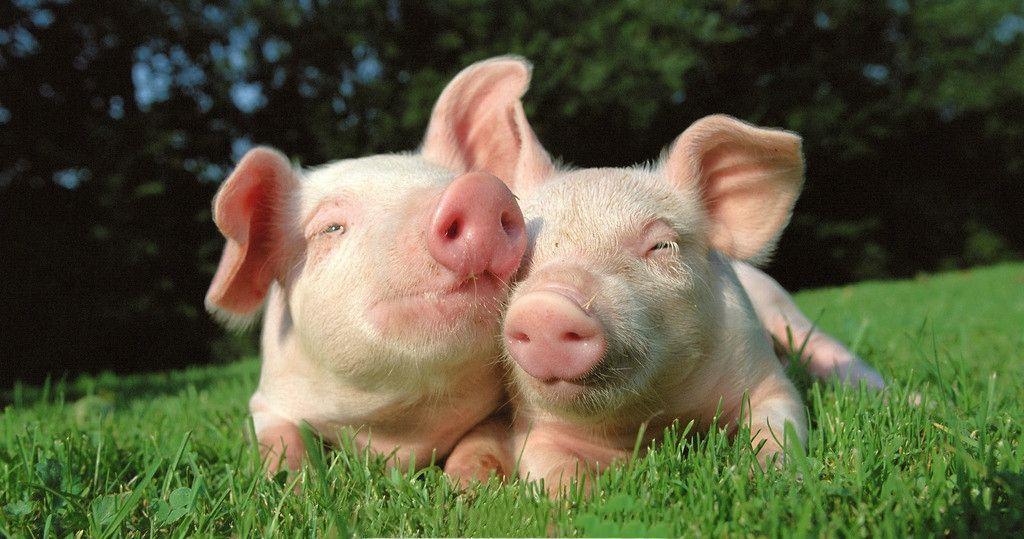属猪性格优点和缺点 带你了解属猪的人的真正性格_伊秀经验