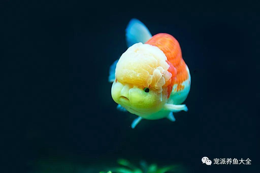 這么心愛的金魚寶寶實在太萌,看一眼就心生歡欣!~